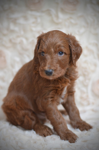 Black male goldendoodle