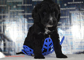 Iowa goldendoodle puppies for sale