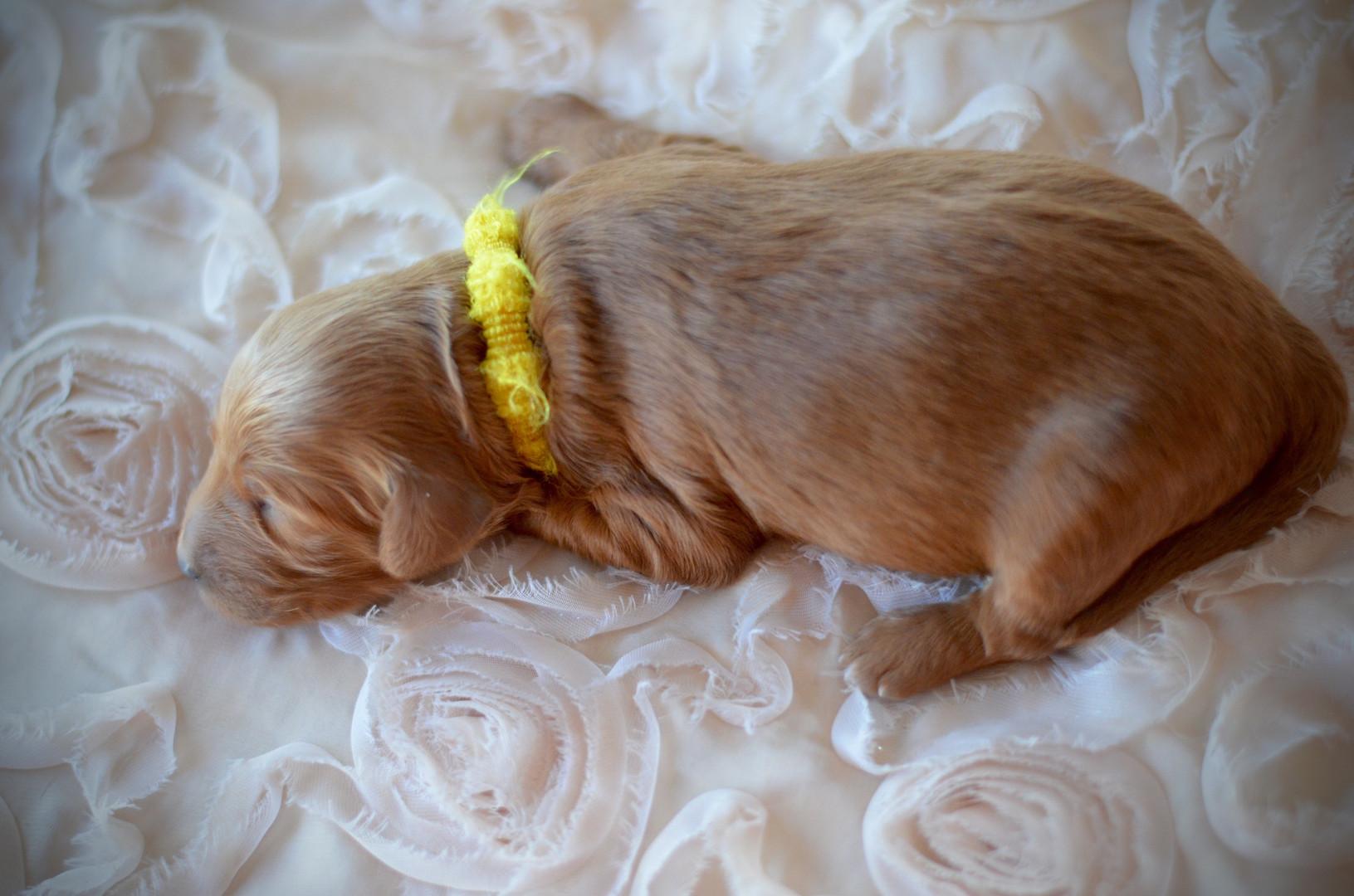 Yellow female goldendoodle