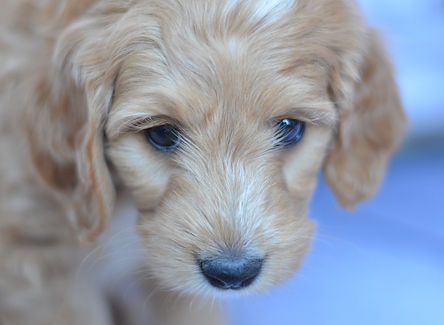 Goldendoodle Puppies for sale in Iowa, Illinois and Wisconsin