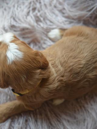 Medium Tuxedo Goldendoodle