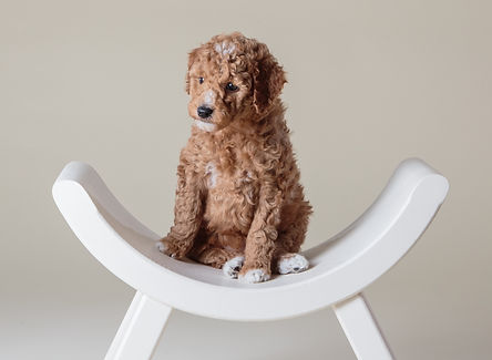Parti goldendoodle puppies for sale