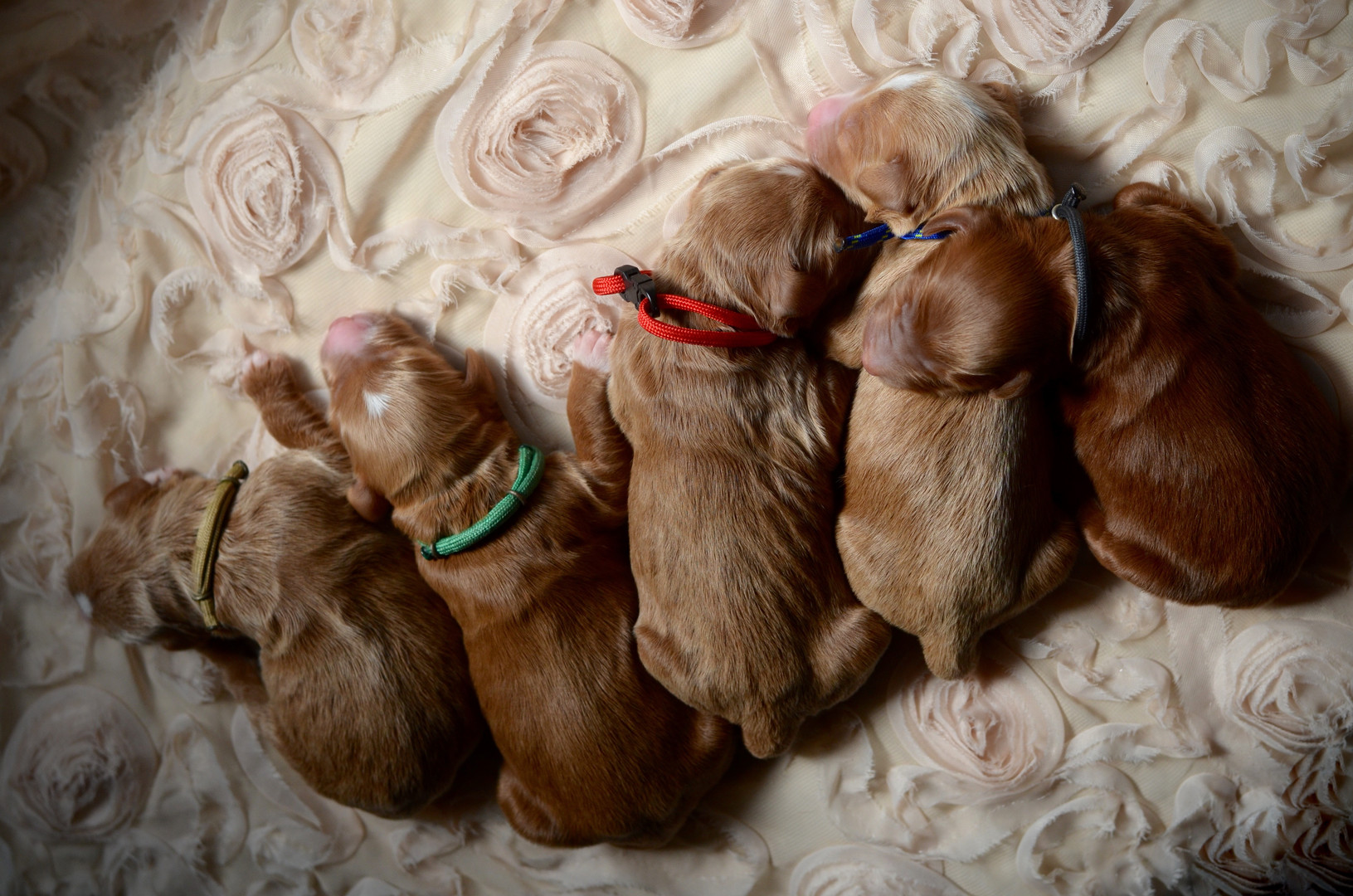 Willow's male goldendoodles