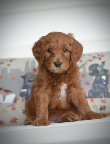 Yellow female goldendoodle