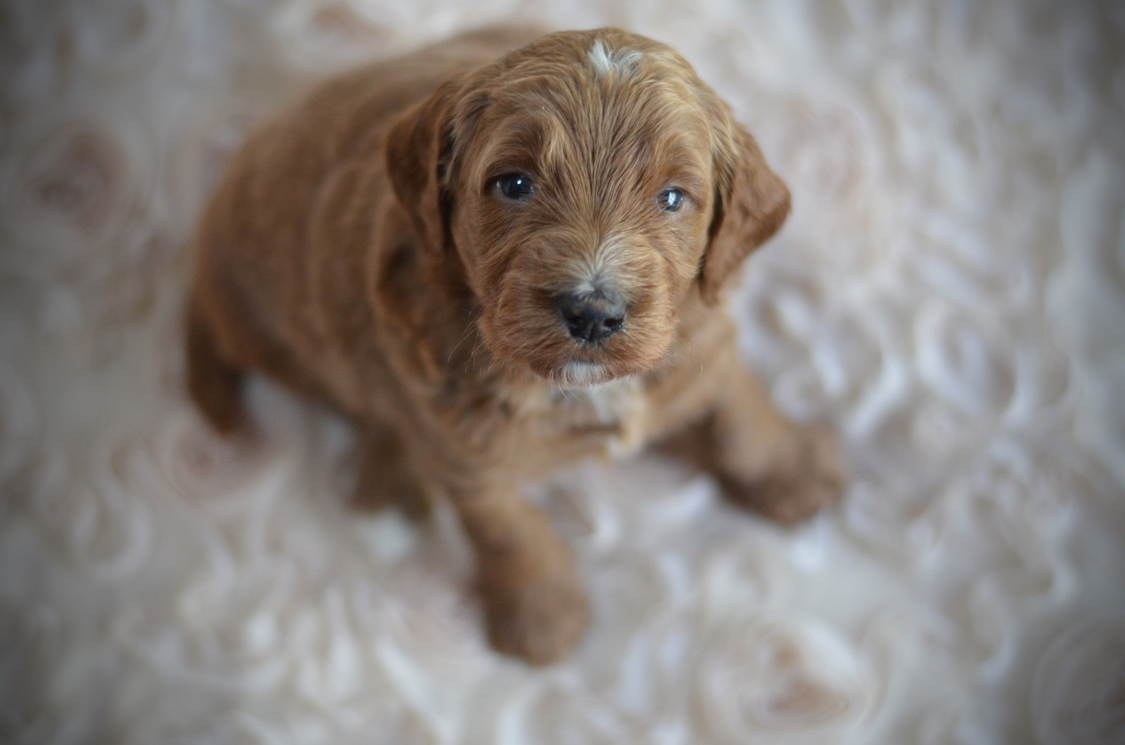 Red male goldendoodle