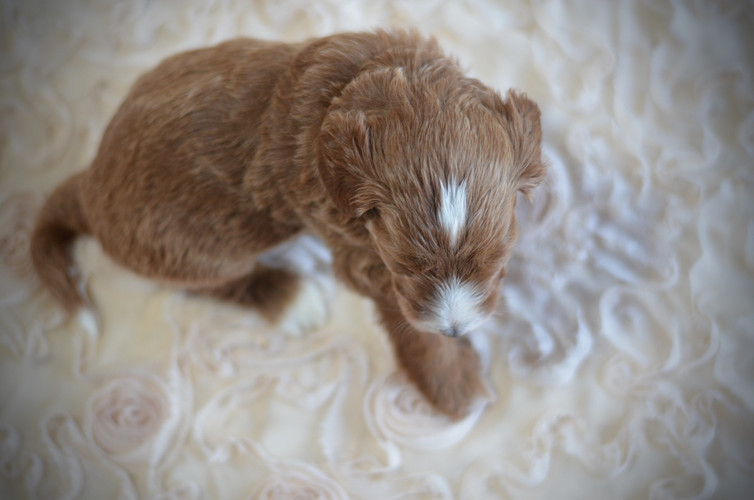 Tan male goldendoodle