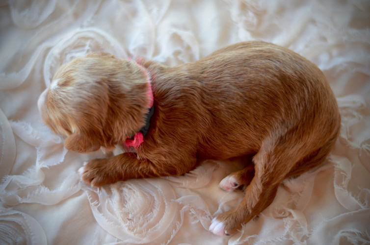 Pink female goldendoodle