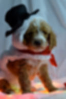 Iowa puppies for sale