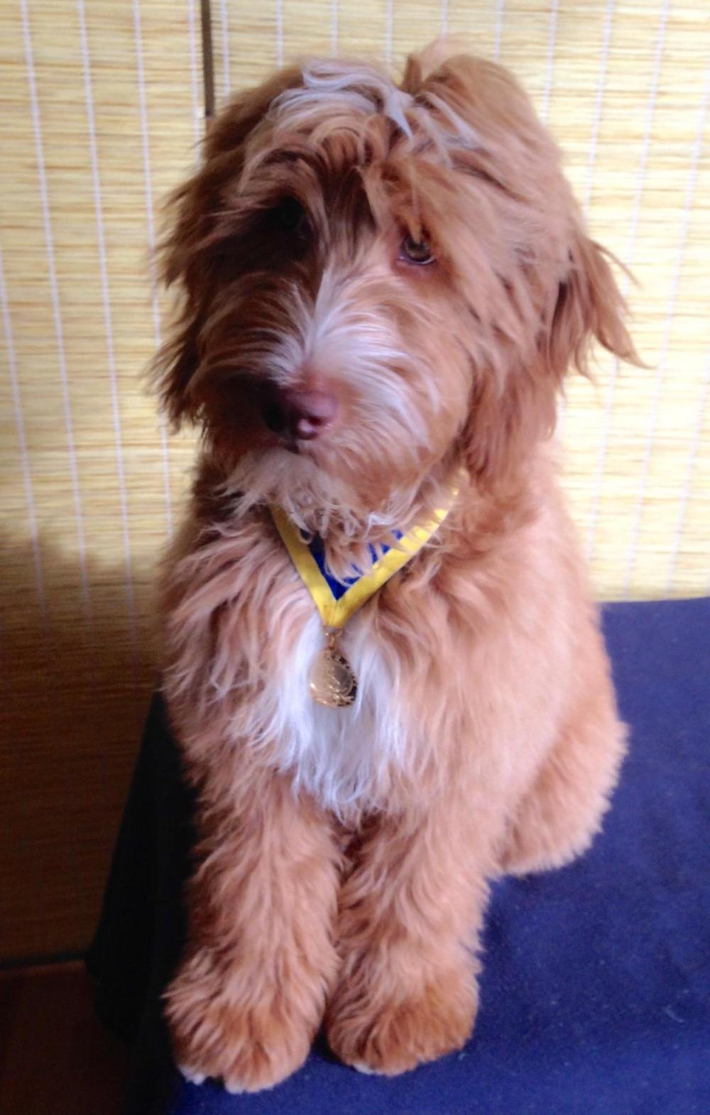 Iowa Goldendoodle Puppy