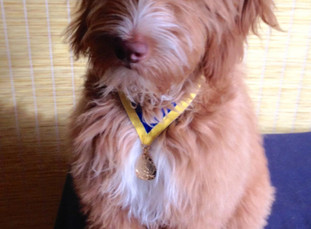 Iowa Goldendoodle Puppy Receives Her First Training Award :)