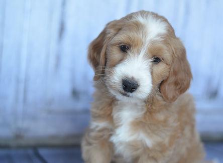 Parti goldendoodle puppies for sale