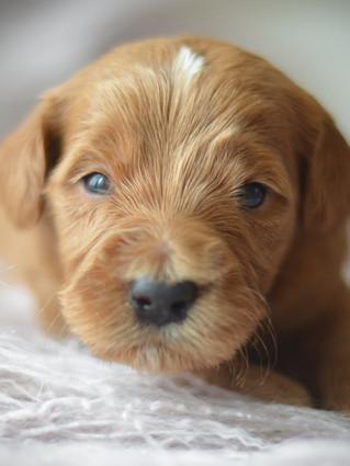 Mini Goldendoodle