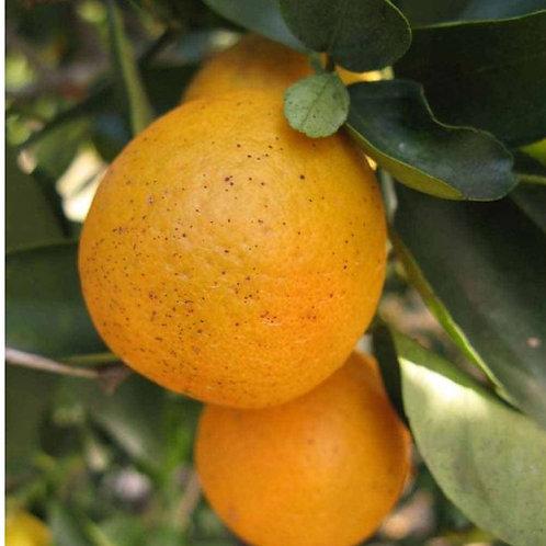 Orangequat FD