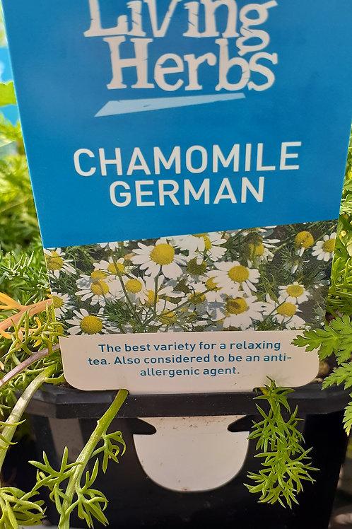 Chamomile German 10cm LH