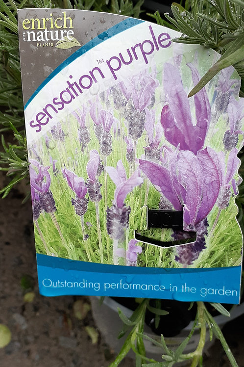 Lavandula Sensation Purple 1.5L
