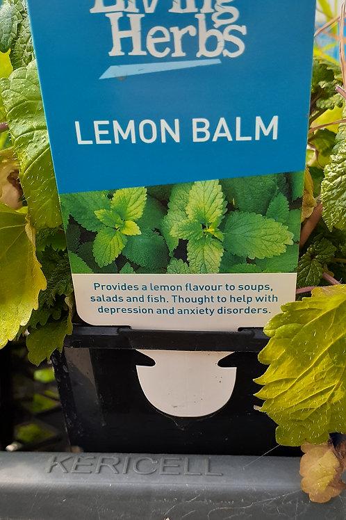 Lemon Balm 10cm LH