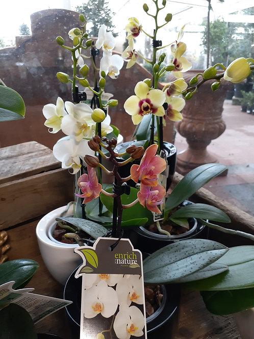 Phalaenopsis Orchid mini 9cm in ceramic