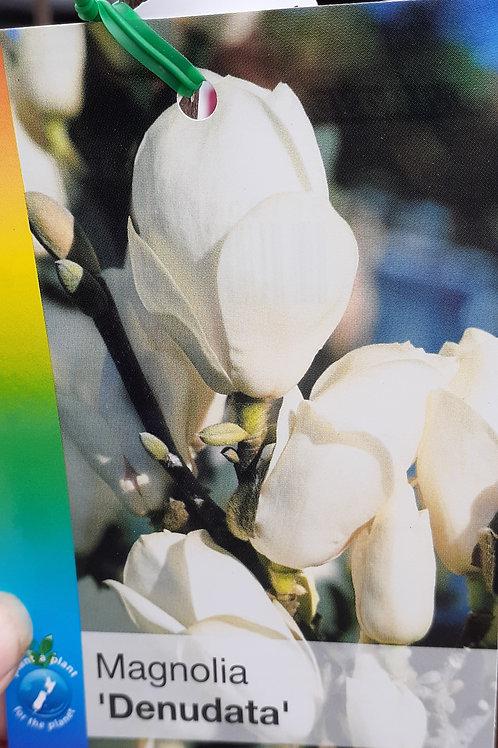 Magnolia Denudata 30L