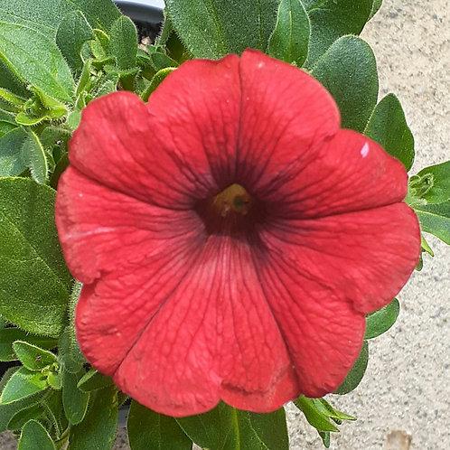 Petunia Hot Rod Red 1L