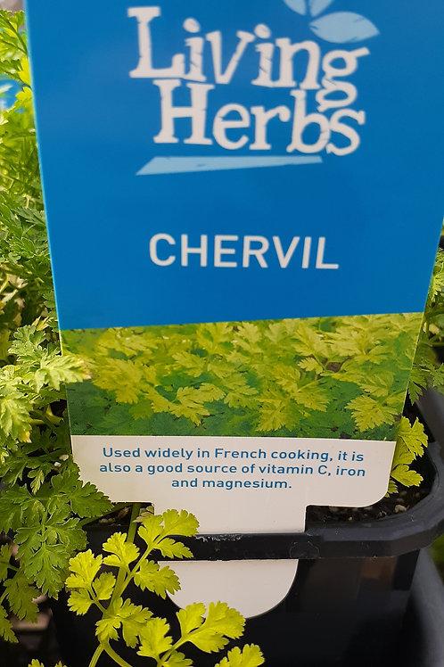 Chervil 10cm LH