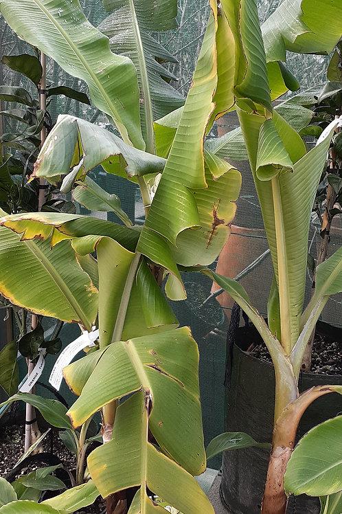 Banana Mons Marie 4.5lt