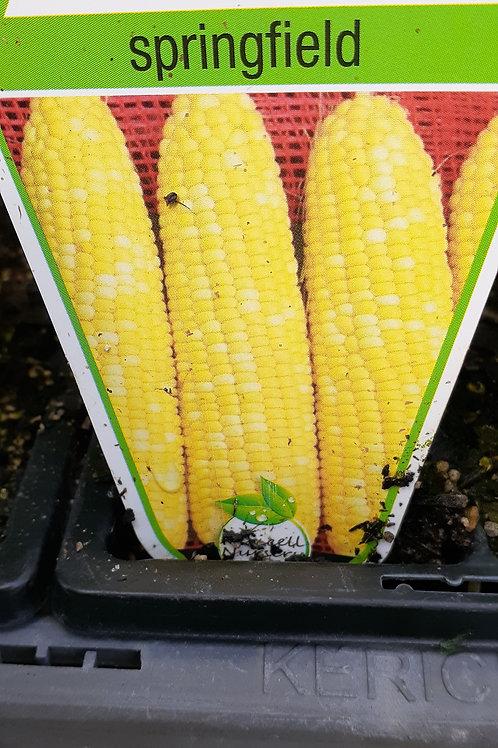 Corn Springfield 6 cell K