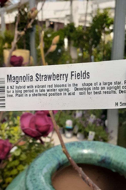 Magnolia Strawberry Fields PB18