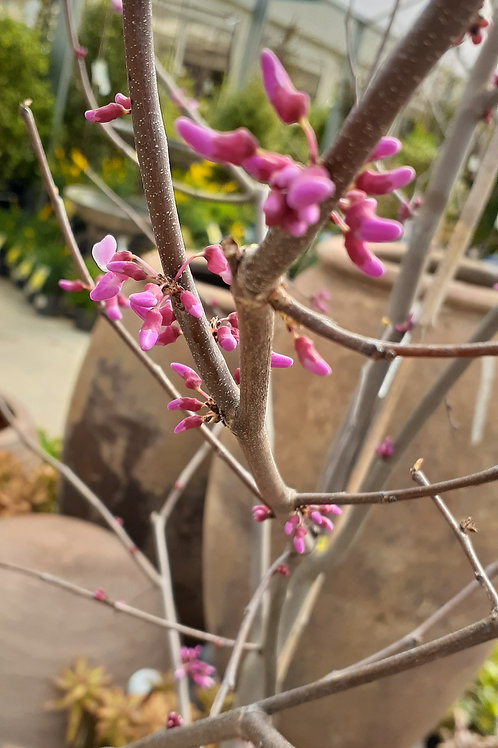 Cercis Canadensis Hearts Of Gold PB28