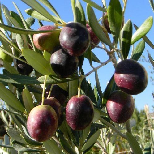 Olive Manzanillo 1.9L