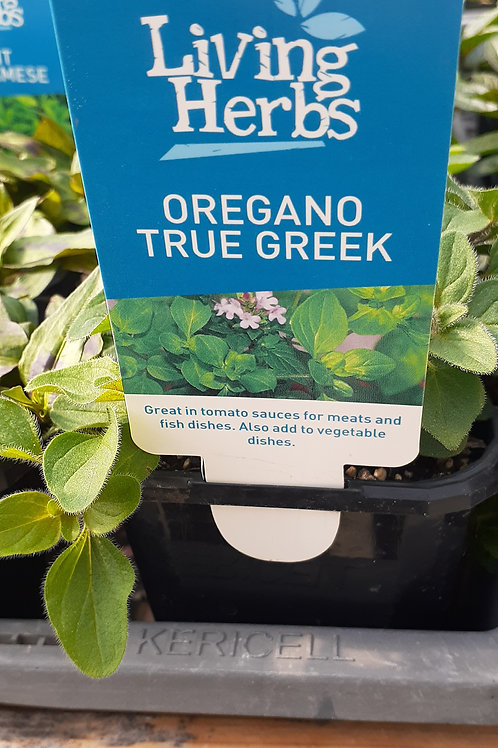 Oregano True Greek 10cm LH