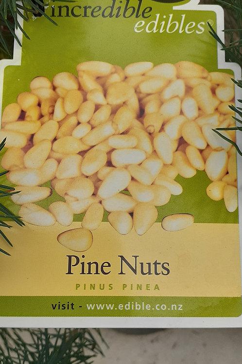 Pinus pinea - Pine nut