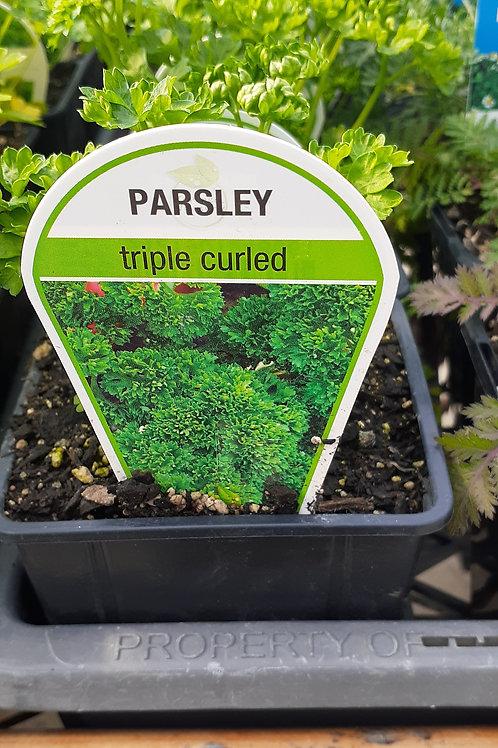 Parsley Triple Curl 9cm K
