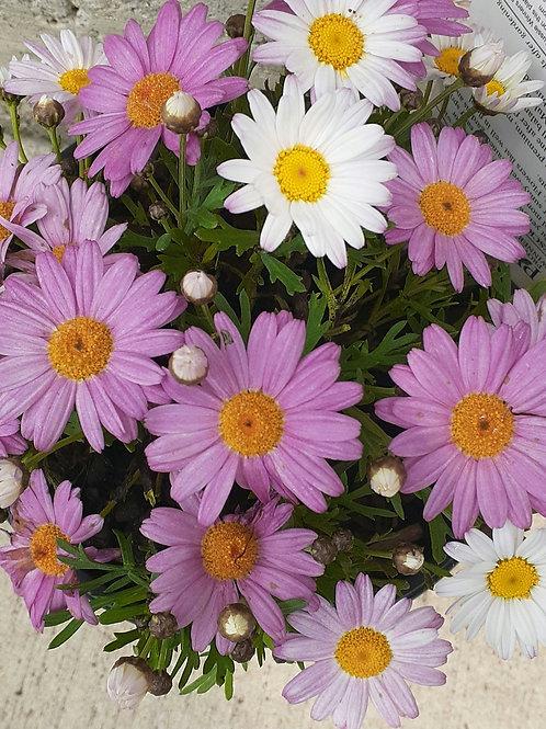 Argyranthemum Lolly 2.5L