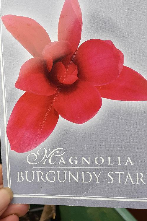 Magnolia Burgundy Star PB28
