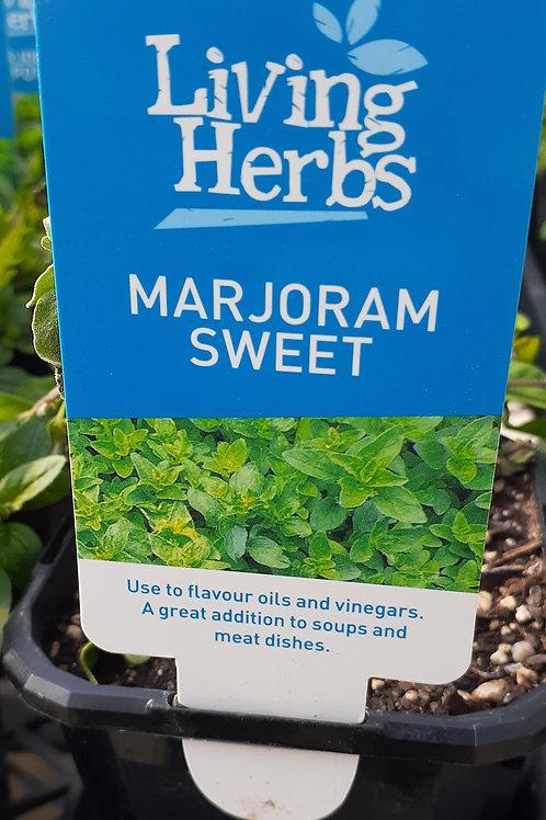 Marjoram Sweet 10cm LH