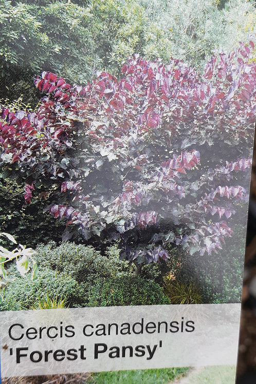 Cercis Forest Pansy 30lt