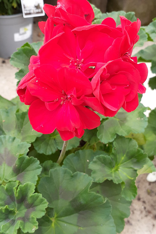 Pelargonium Really Red 17cm