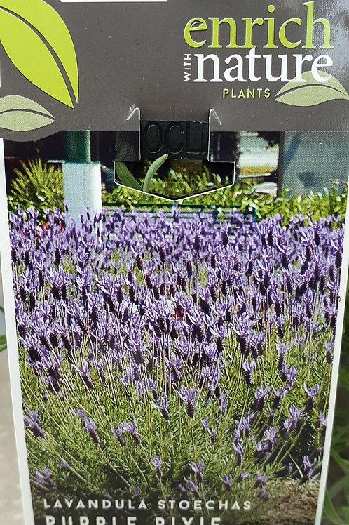 Lavandula Purple Pixie 1.5L