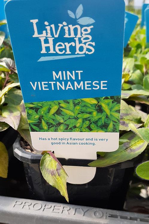 Mint Vietnamese 10cm LH