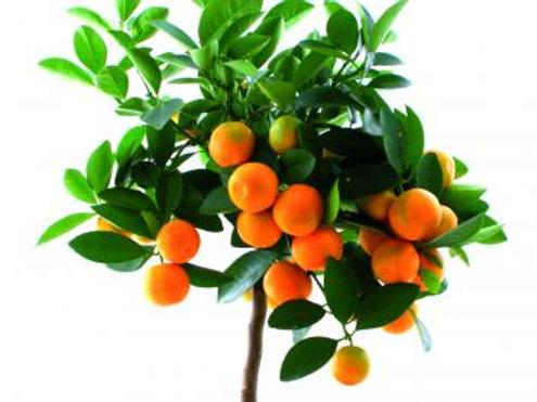 Orange Navelina Trifoliata