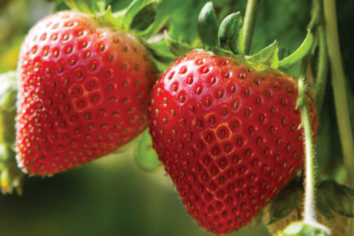 Kericell Strawberry 4 pack