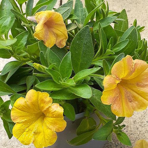 Petunia Indian Summer 1L