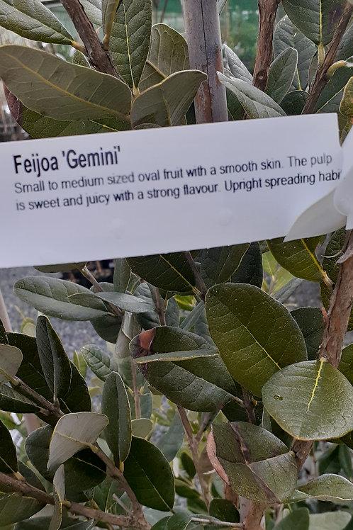 Feijoa Gemini 5L