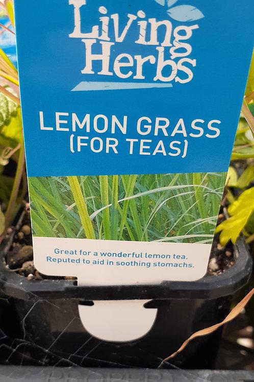 Lemon Grass 10cm LH