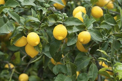 Lemon Lemonade FD