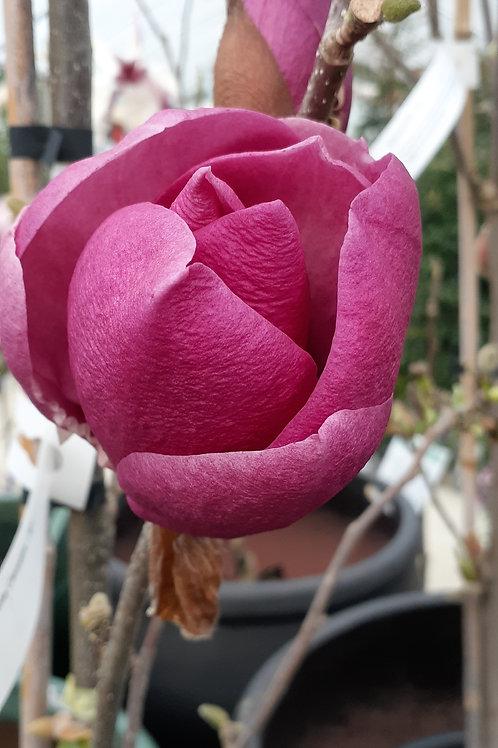 Magnolia Cleopatra 30L