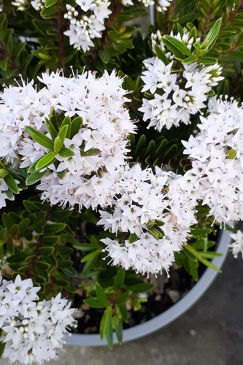 Hebe Diosmifolia minor 2.5L