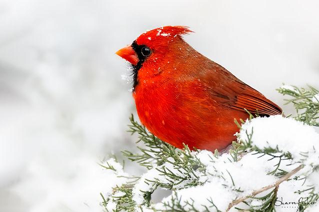 Cardinal_Male_Snow_H1A4708.jpg