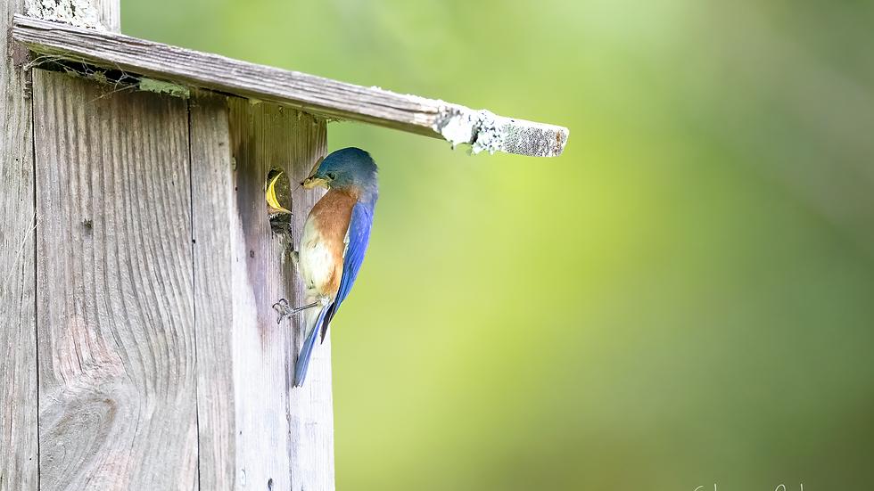 bluebird_G4A6299.png