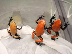 A. galactontus 'Orange'